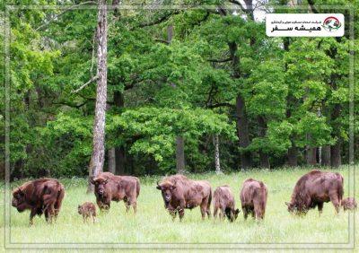 پارک ملی Belovezhskaya Pushcha