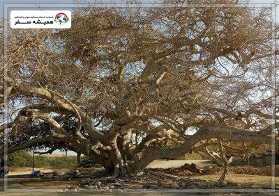 درخت مکرزن ، از جاذبه های دیدنی چابهار